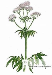 Pflanze Mit Z : baldrian pflanze mit doldenbl ten valeriana ~ Lizthompson.info Haus und Dekorationen