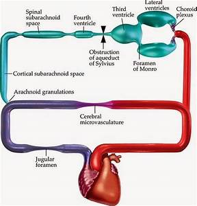 Cerebrospinal Fluid Functions