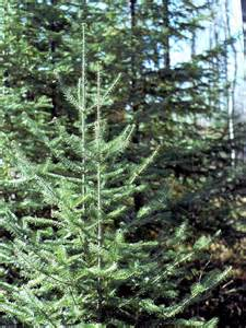 Balsam Fir Tree Identification