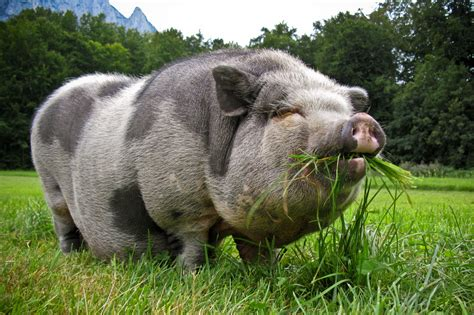 potbelly pig pin pot bellied pigs wild facts on pinterest