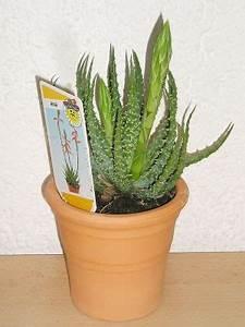 Pflanze Mit Stacheln : aloe humilis sch nheit mit stacheln majas pflanzenblog ~ Frokenaadalensverden.com Haus und Dekorationen