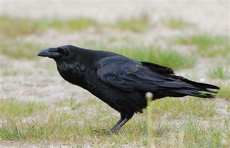 Wiki Common Raven Upcscavenger