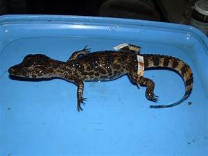 Index of /updated2/paraguay/reptiles/CROCODILES_files