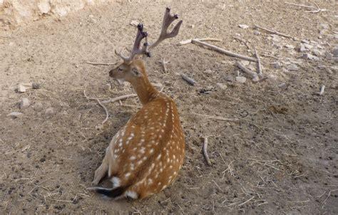 Deer Antler Shedding Cycle by Murcia Today Fallow Deer In The Terra Natura Murcia