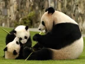パンダ:パンダの無料壁紙~panda wallpaper