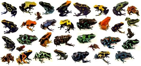 Poison Dart Frogs as Pets - Josh's Frogs How-To Guides