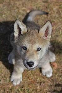 Bébé Loup Blanc : b b loup animaux du monde pinterest loup louveteau ~ Farleysfitness.com Idées de Décoration