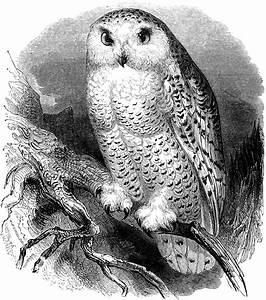 Free Clip Art - Snow Owl Vintage Illustration | Oh So ...