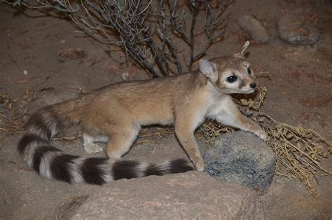 ring tailed cat bassariscus astutus photo page