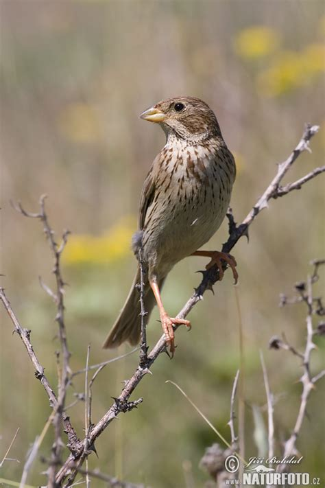 corn bunting photos corn bunting images nature wildlife