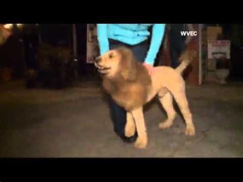 dog mistaken  lion prompts  calls youtube