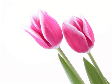 Pink Tulip Backgrounds by Tulip Hd Backgrounds Impremedia Net