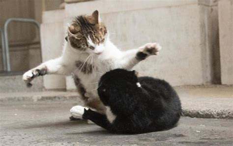claws   whitehall  larry  cat takes