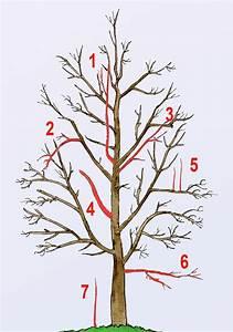 Wann Apfelbaum Pflanzen : die besten 25 kirschbaum schneiden ideen auf pinterest ~ Lizthompson.info Haus und Dekorationen