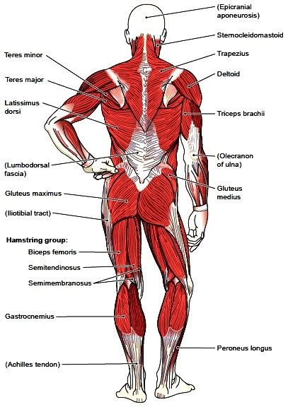 Body Muscle Groups Diagram