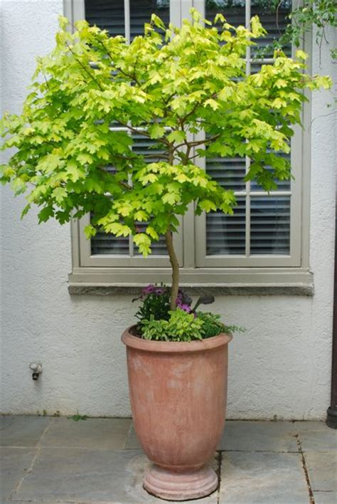 potted trees for patio gardener visit to chanticleer gardens in 4373