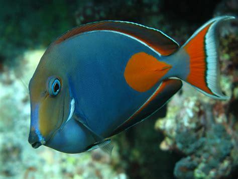 tang achilles fish surgeonfish marinefishez