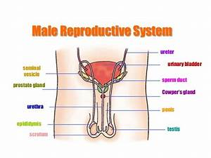 Diagrams of Male Reproductive System | Diagram Site