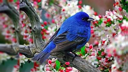 Cardinal Bird Wallpapersafari Windows Wallpapertag