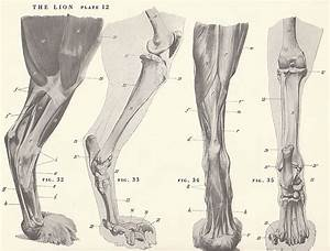 Vintage Lion Feet Paw Musculature Skeleton View By