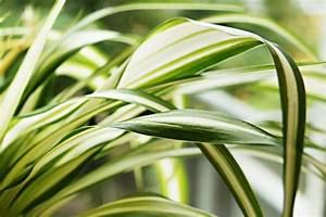 Zimmerpflanze Weiße Blüten : gr nlilie chlorophytum comosum pflege anleitung ~ Markanthonyermac.com Haus und Dekorationen