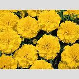 Marigold Flower Wallpaper | 1600 x 1200 jpeg 225kB
