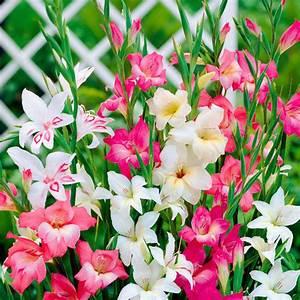 Blumen Winterhart Mehrjährig : winterharte zwerg gladiolen mischung von g rtner p tschke ~ Whattoseeinmadrid.com Haus und Dekorationen