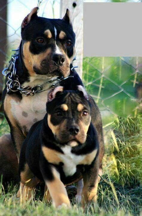 tri color pits awesome tri color blue nose pits pit bulls