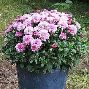 Welche Blumen Blühen Im Oktober : chrysanthemen im topf ~ Bigdaddyawards.com Haus und Dekorationen