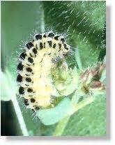 Gelb Schwarze Raupe : insekten sechsfleck rotwidderchen zygaena filipendulae reifung der raupen ~ Orissabook.com Haus und Dekorationen