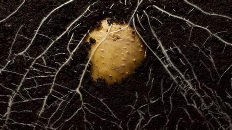 kartoffel wurzel zeitraffer rm 895 367 753 in