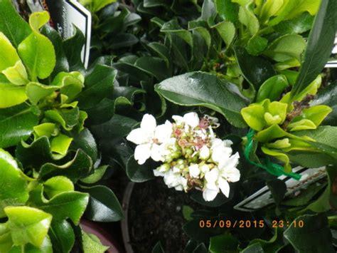 rhaphiolepsis snow maiden landsdale plants