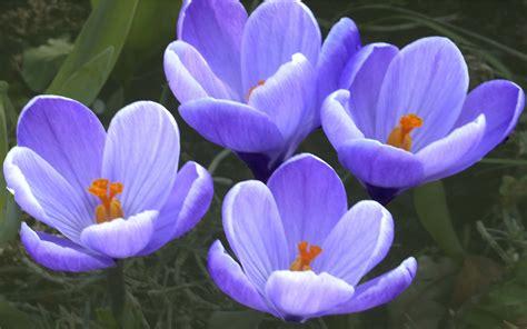 Blue Crocus : Wallpapers13.com