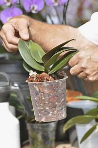 Rempoter Une Orchidee : rempoter une orchid e plantes de lintrrieur rempoter ~ Mglfilm.com Idées de Décoration