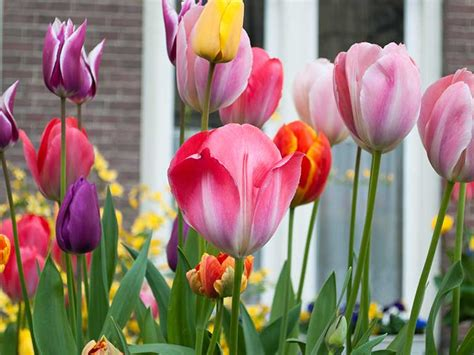 how to grow perennial tulips and when to plant saga
