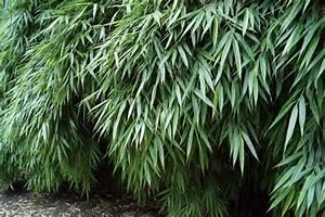 Immergrüne Pflanzen Winterhart Kübel : fargesia rufa hecken bambus 40 60 cm sattgr n diesen ~ Lizthompson.info Haus und Dekorationen