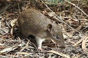 Southern brown bandicoot - Wikipedia