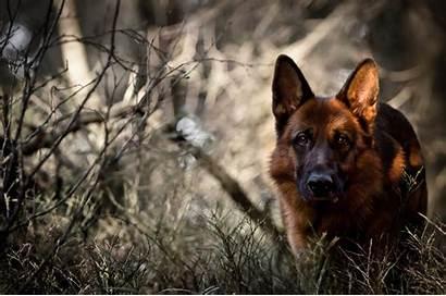 Shepherd German Dog Forest Wallpapers Desktop Backgrounds