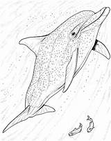 Dolphin Coloring Pages Dolphins Realistic Bottlenose Drawing Animal Printable Jumping Adult Colouring Wildlife Animals Getdrawings Draw Books Pick Getcolorings Adults sketch template