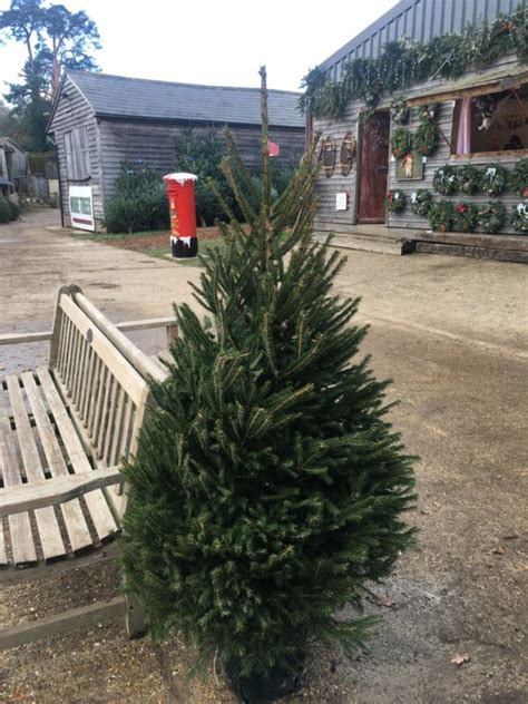 real potted christmas trees for sale asda pot grown trees for sale send me a tree