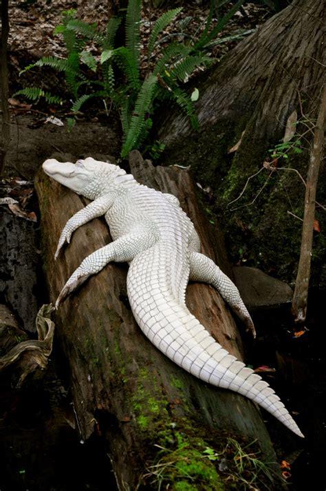 animales albinos  lucen increibles