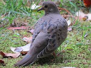 Juvenile Mourning Dove by Charles Green