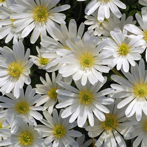 buy wood anemone bulbs anemone blanda white splendour