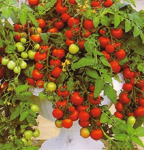 bibit tomato maskotka cherry bibitbungacom