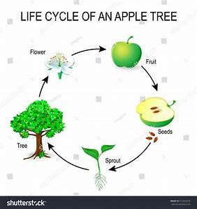 Life Cycle Apple Tree Flower Seeds Stock Vector 612425279