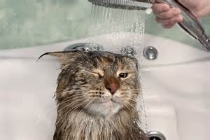 cat wet bath maine water coon funny cats bathing shower ugly kitty coons kitten why don angry bathtub cute wonderopolis