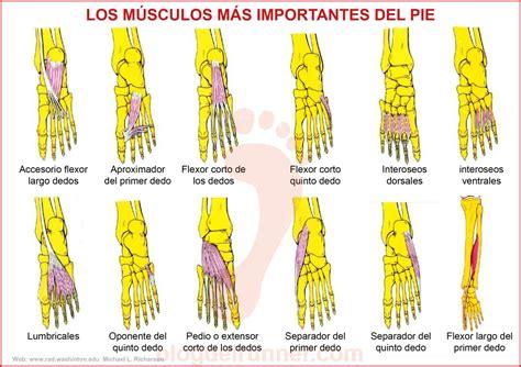 Musculos Extrinsecos Del Pie Buscar Con Google