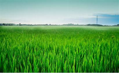 Paddy Agriculture Field Grass Nature Landscape Prairie