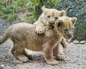 Playing cubs II | Second picture of the cubs playing ...