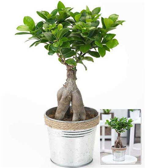 pflege bonsai ficus ginseng ficus moclame ficus